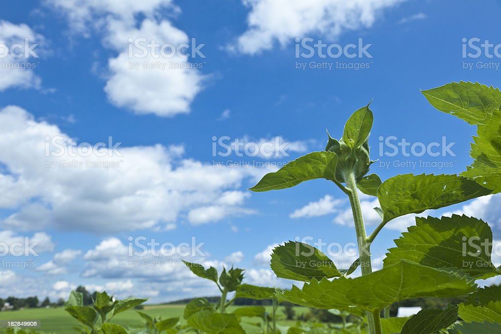 Sunflower Buds Against Blue Sky With Puffy White Clouds stock photo