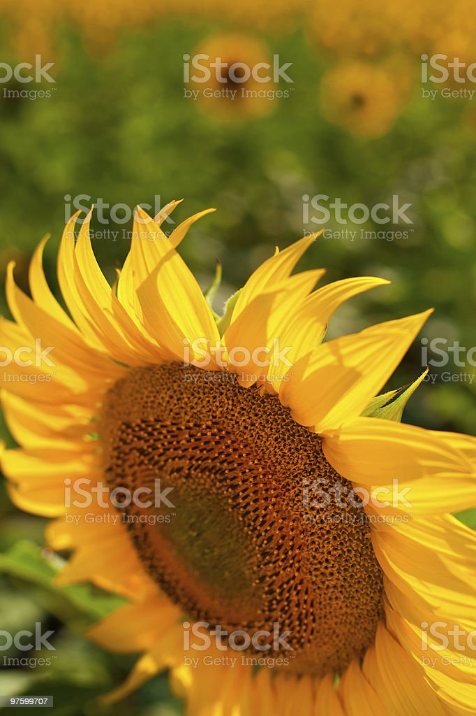 Sunflower close-up against field royalty-free stock photo