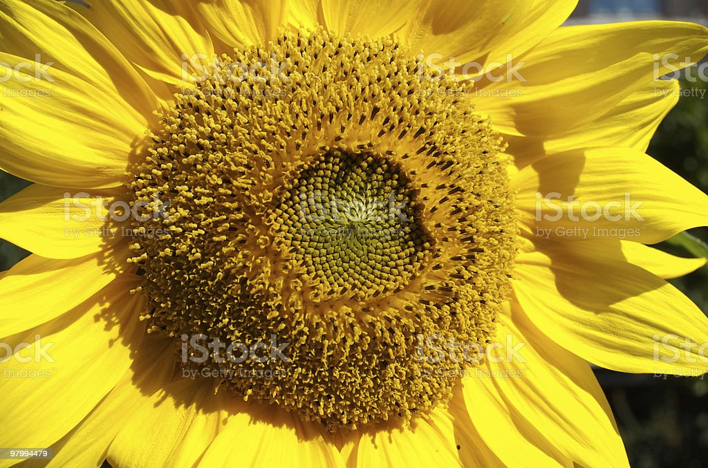 Sunflower close-up, bright yellow royalty free stockfoto
