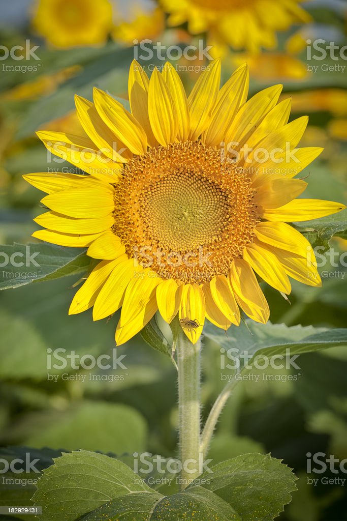 Sunflower Close-up -Brilliant Yellow as Seeds are Beginning to Form stock photo