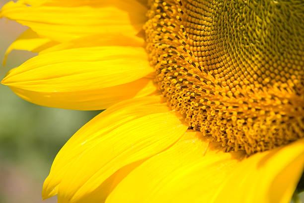 sonnenblumen nahaufnahme - elemi stock-fotos und bilder
