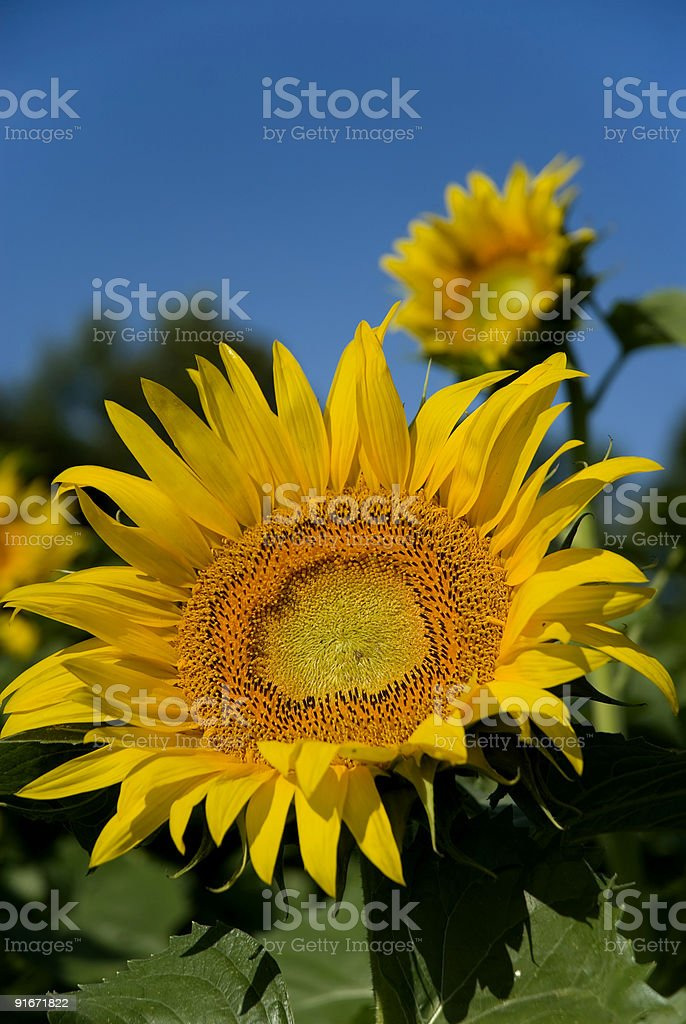 Sunflower Closeup royalty-free stock photo