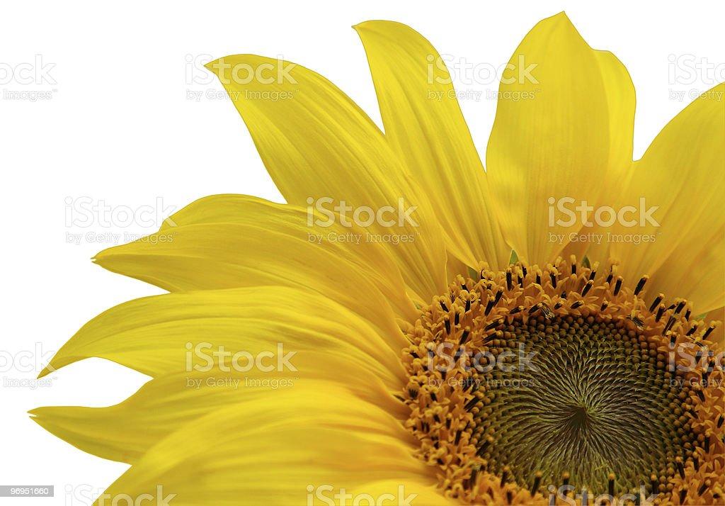 Sunflower Closeup royalty-free stock photo
