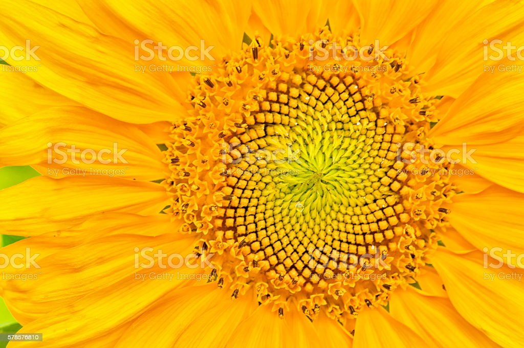 sunflower close-up with copy space stock photo