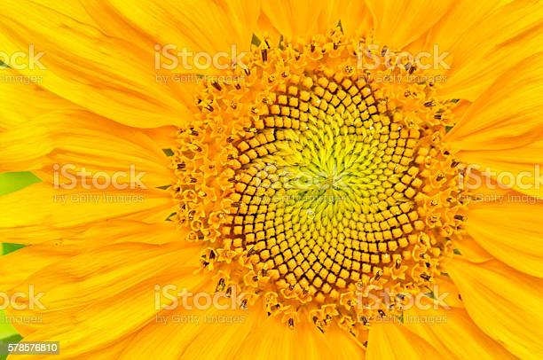 Photo of sunflower close-up with copy space