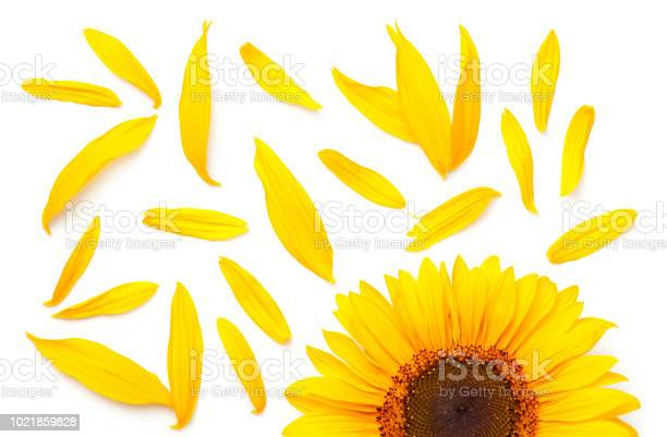 Sunflower concept isolated on white background picture id1021859828?b=1&k=6&m=1021859828&s=612x612&h=wg1ajs8icw7fcwiupkbdojx ziu6kxqsaedi9fqgkpo=