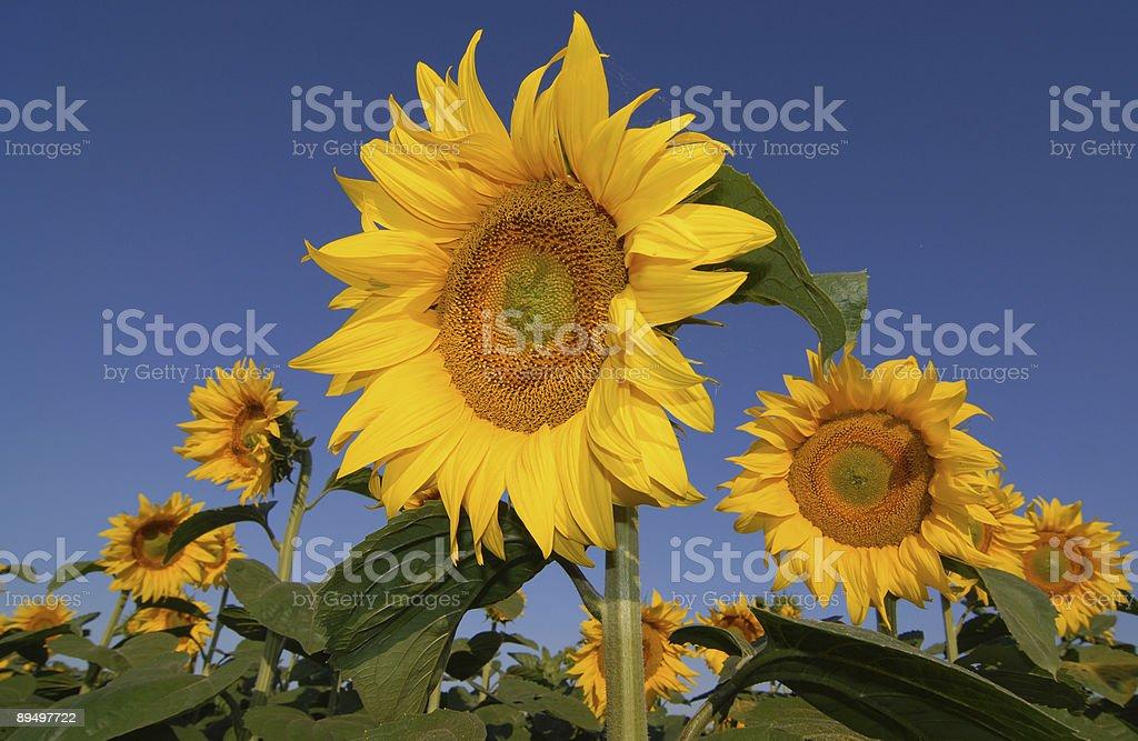 Sunflower Corner royaltyfri bildbanksbilder
