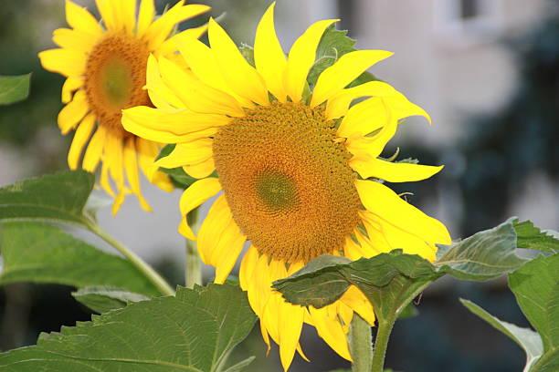 Sonnenblume Paar – Foto