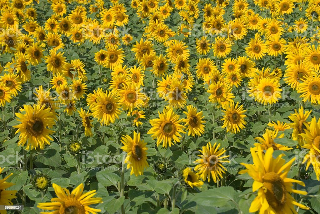 Sunflower Crop royalty-free stock photo