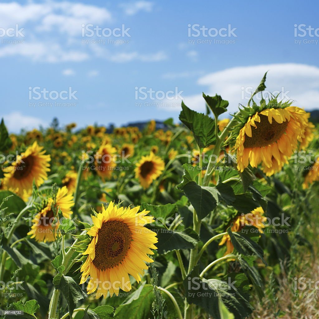 Sunflower cultivation royalty-free stock photo