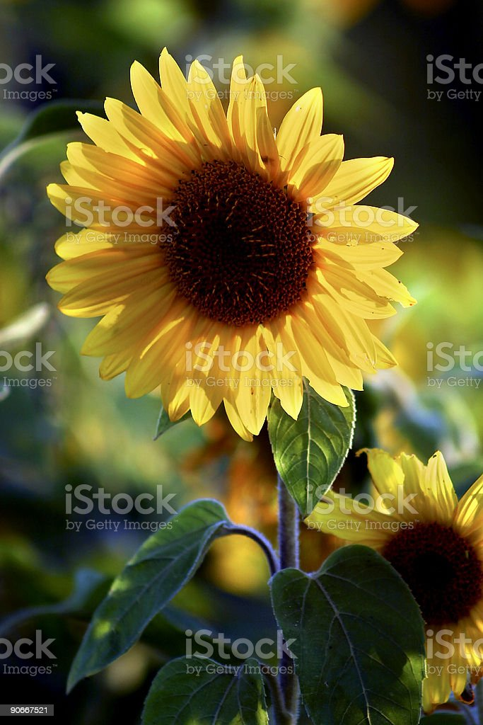 Sunflower depth royalty-free stock photo