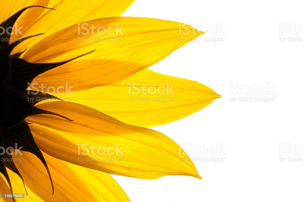 Sonnenblume-detail – Foto