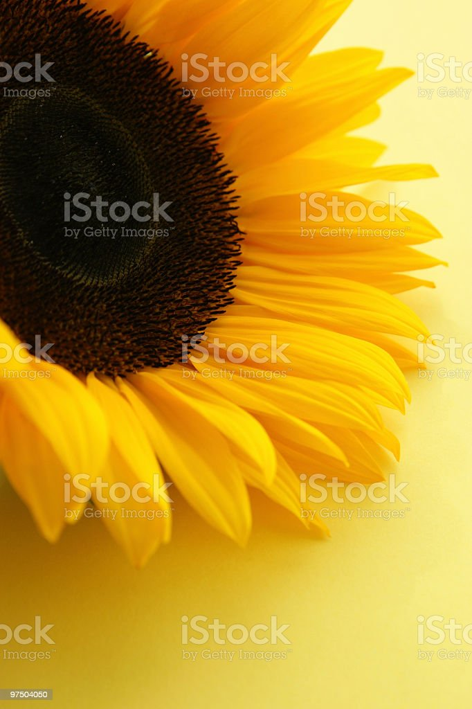 Sunflower Detail royalty-free stock photo
