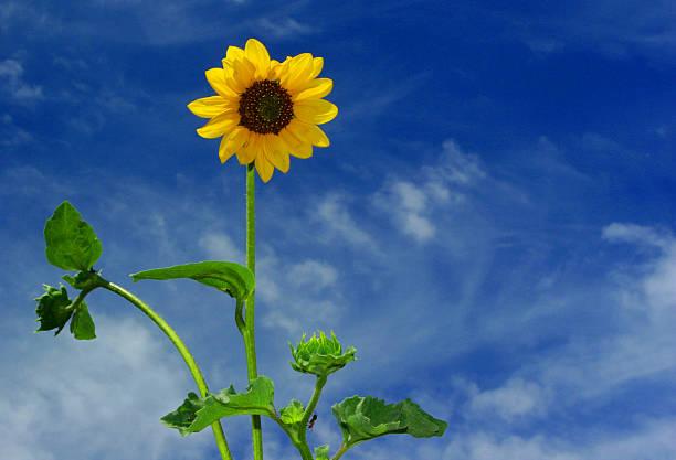 sunflower, eden, utah stock photo