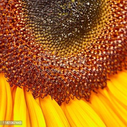 Sunflower extreme close-up