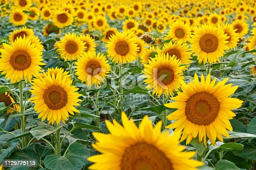 Sunflower farm.