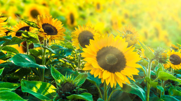 sunflower fiel in sunshine - july stock photos and pictures