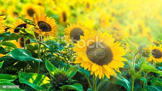 sunflower fiel in sunshine