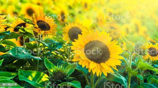 Sunflower fiel in sunshine picture id987360076?b=1&k=6&m=987360076&s=612x612&h=hkavrr3oajmu57gnzipeekuks a5atqrawegef3aafw=