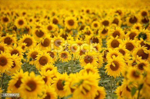 Horizontal photo of a sunflower field.