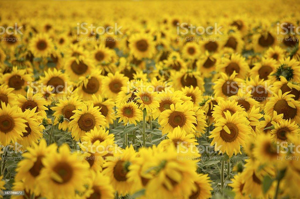Sunflower field - 2 stock photo