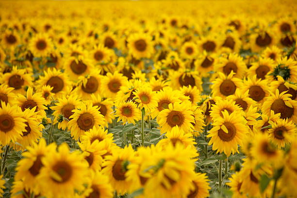 Sunflower field - 2 stock photo