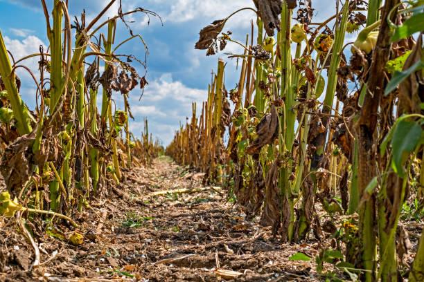 ayçiçeği alanından sonra hasat - kuraklık stok fotoğraflar ve resimler