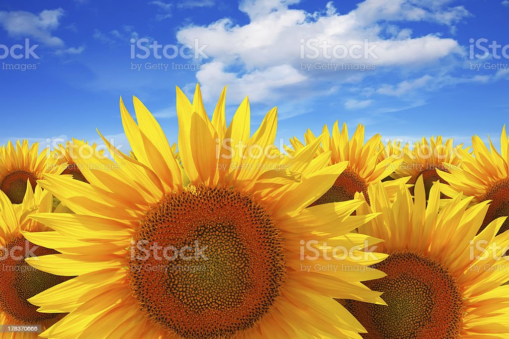 Sunflower field against blue sky royalty-free stock photo