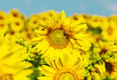 Beautiful sunflowers and bee in a sunflower field under bright blue summer sky. Nature concept.