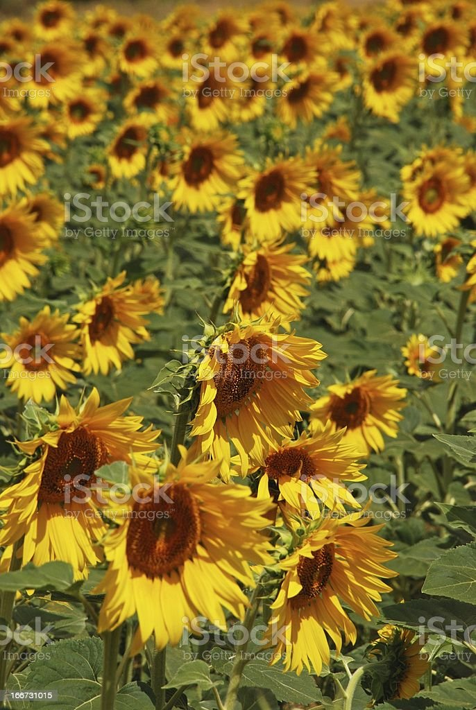 Sunflower field, Andalusia, Spain. royalty-free stock photo
