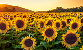 Sunflower Field in Sunny Summer Day