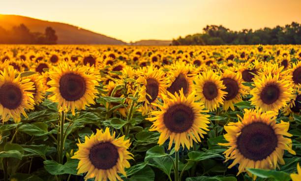 sonnenblumen feld im sonnenuntergang - sonnenblume stock-fotos und bilder