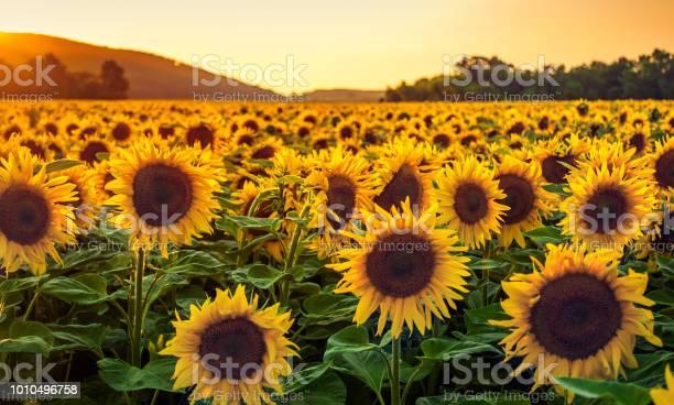 Photo of Sunflower Field at Sunset