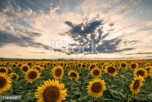 Sunflower field in rural area, under storm clouds, in summer.