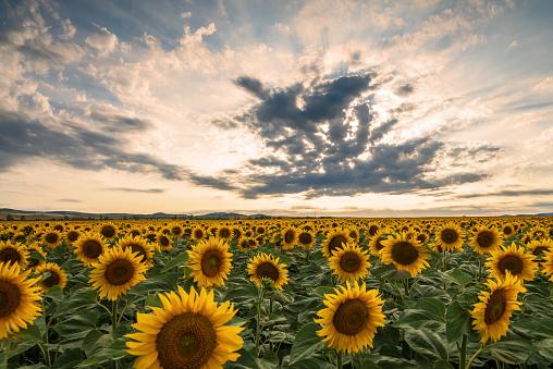 istock Sunflower field at sunset. 1160640577