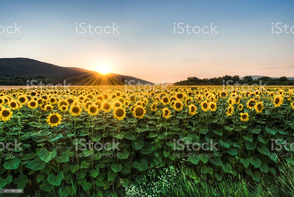 sunflower field at sunset royalty-free stock photo