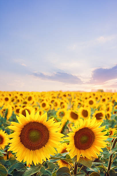 Sunflower field at sunset stock photo