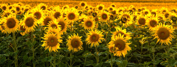 Sunflower field bathed in golden light of the setting sun - panorama