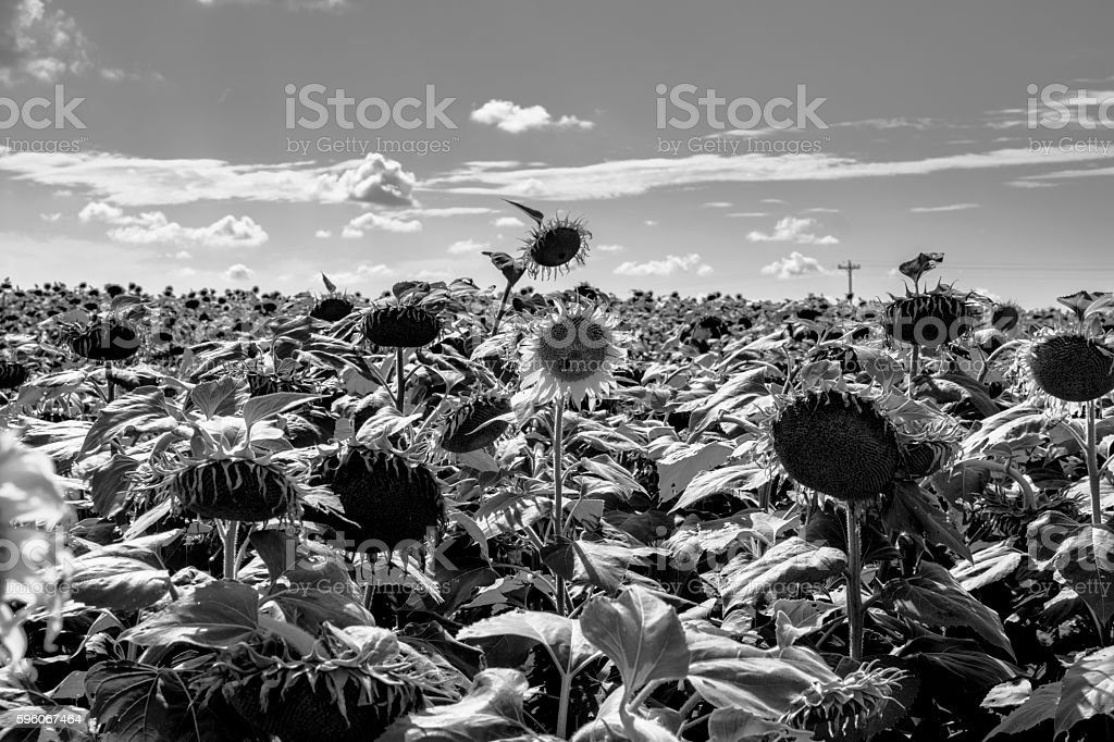 Sunflower field BW royalty-free stock photo