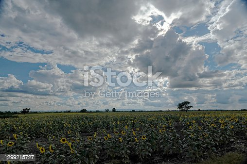Sunflower field horizon and cloudy sky at Koppal State Karnataka India