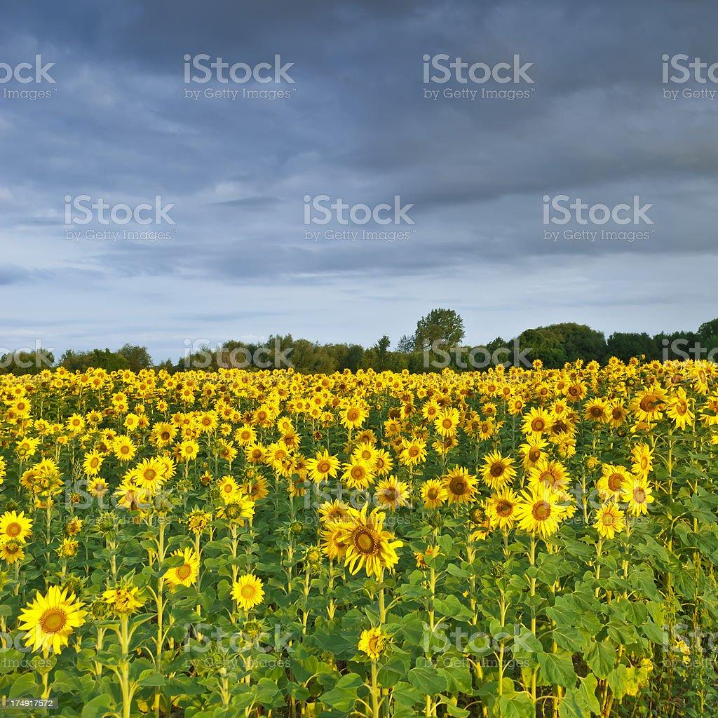 Sunflower field - III royalty-free stock photo