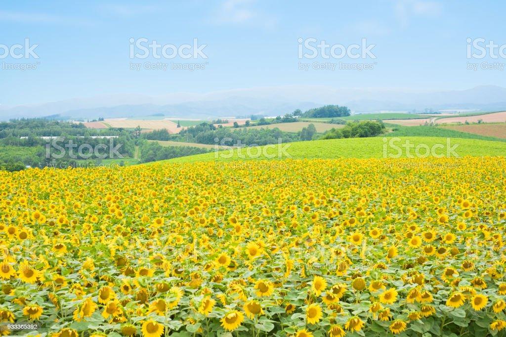 SunFlower Field in Hokkaido stock photo