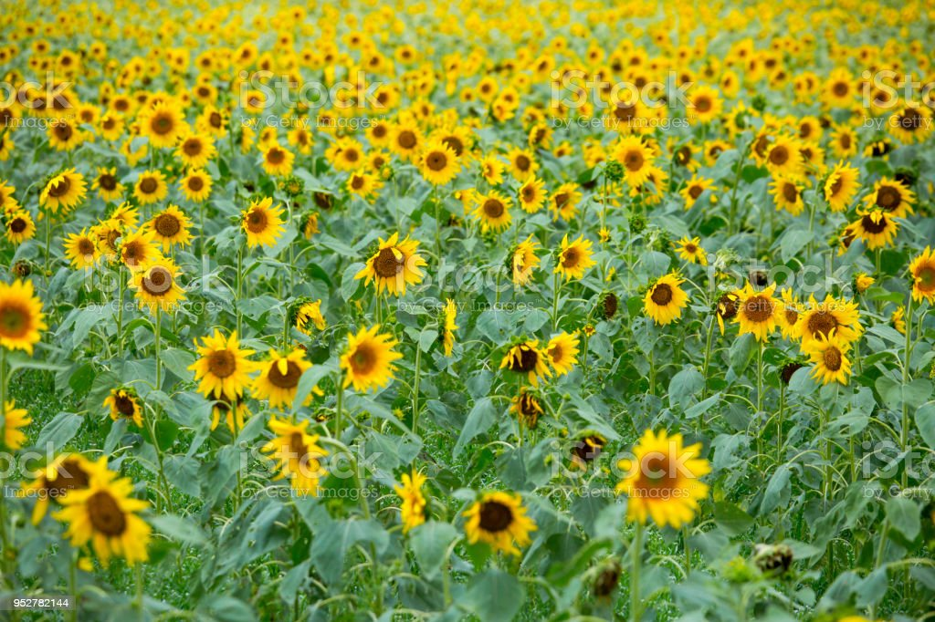 Sunflower field in Noakhali, Bangladesh. stock photo