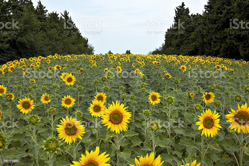 Sunflower field in Provence. stock photo