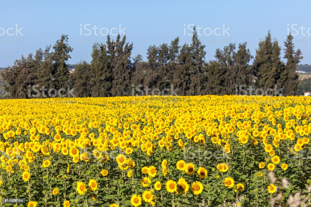 Sunflower field in southern Spain stock photo