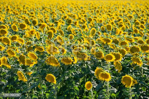Vibrant field of blooming sunflowers (helianthus annuus) in California, where one-quarter of the world's supply of sunflower seeds are grown each summer.