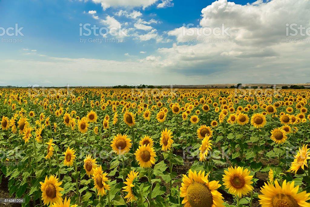 Sunflower field in the summer, Bulgaria. stock photo