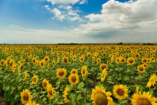 Sunflower field in the summer, Bulgaria. stock photo