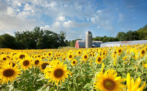 sunflower feld landschaft vor einer scheune - traumscheune stock-fotos und bilder