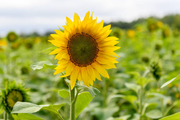 Sunflower field landscape natural background stock photo